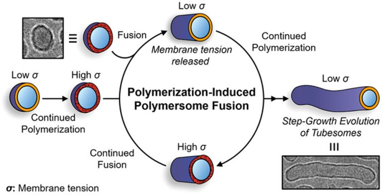 Polymerization-Induced Polymersome Fusion, S. Varlas, R. Keogh, Y. Xie, S. L. Horswell, J. C. Foster & R. K. O'Reilly, J. Am. Chem. Soc.  2019,  141, 51, 20234-20248 , DOI: 10.1021/jacs.9b10152